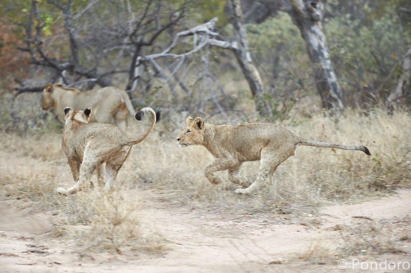 Lions playing at Pondoro Game Lodge