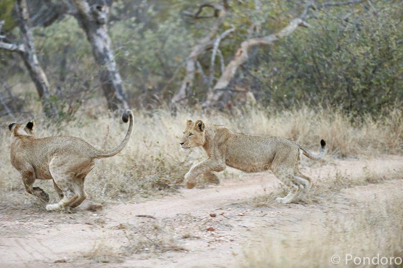 Lions at Pondoro Game Lodge
