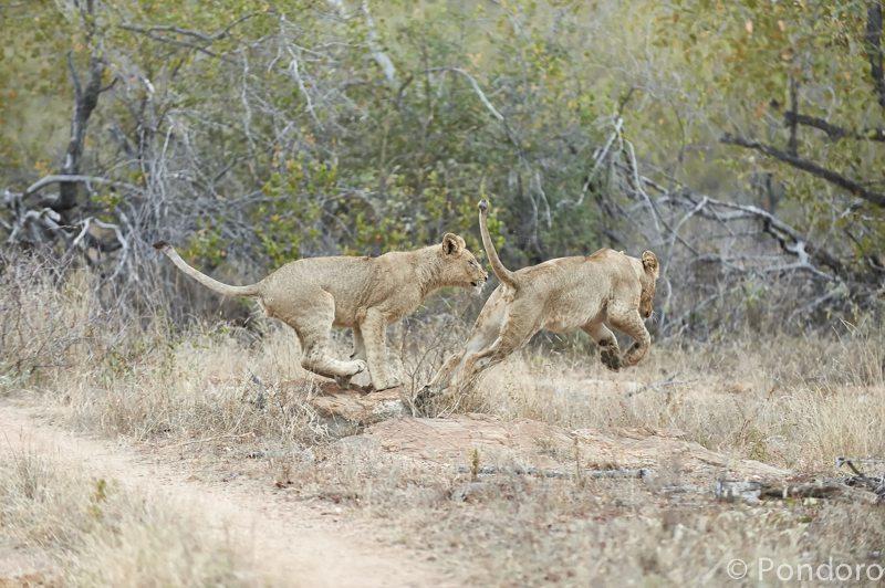 Lions chasing at Pondoro Game Lodge