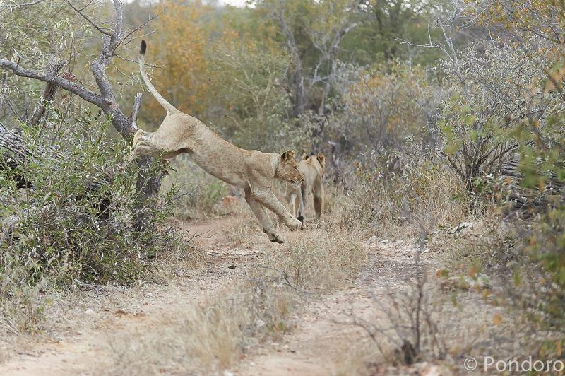 Lion jump at Pondoro Safari Lodge