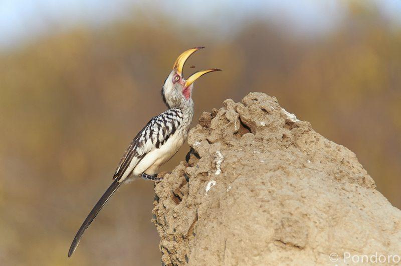 Hornbill during Pondoro safari