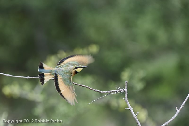 Bee-eater at Pondoro Safari Lodge