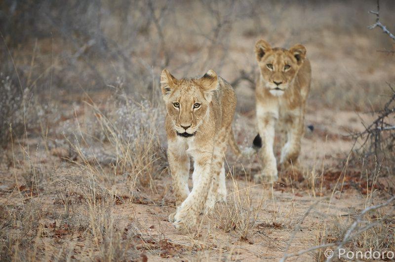 Lion cubs at Pondoro Game Lodge