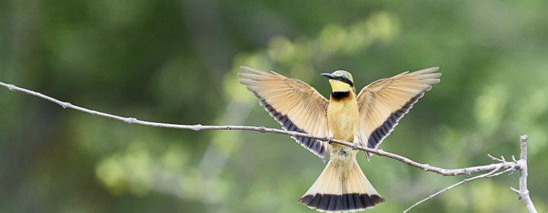 Bee-eater at Pondoro