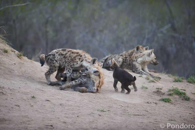 Hyena cubs playing at Pondoro