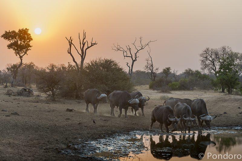 Buffaloes at Pondoro Game Lodge