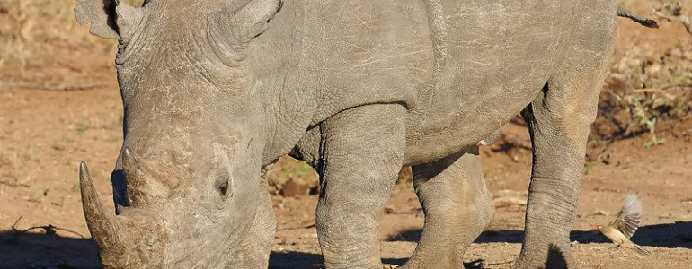 White rhino bull at Pondoro