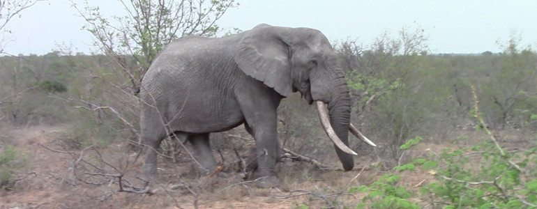Elephant with huge tusks at Pondoro Safari Game Lodge