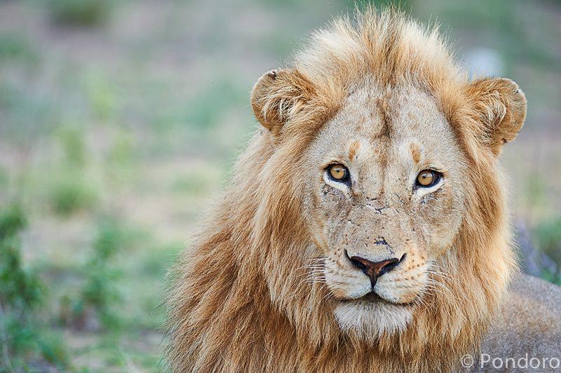 Male lion at Pondoro Game Lodge
