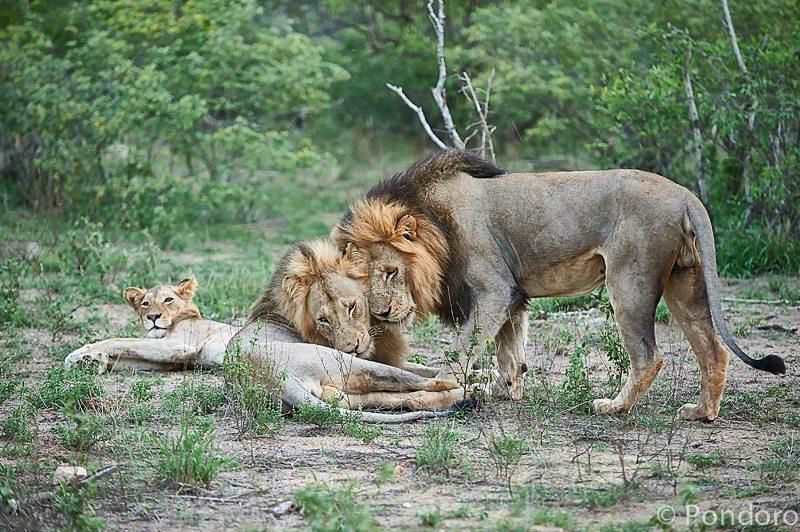 Lions greeting at Pondoro Game Lodge