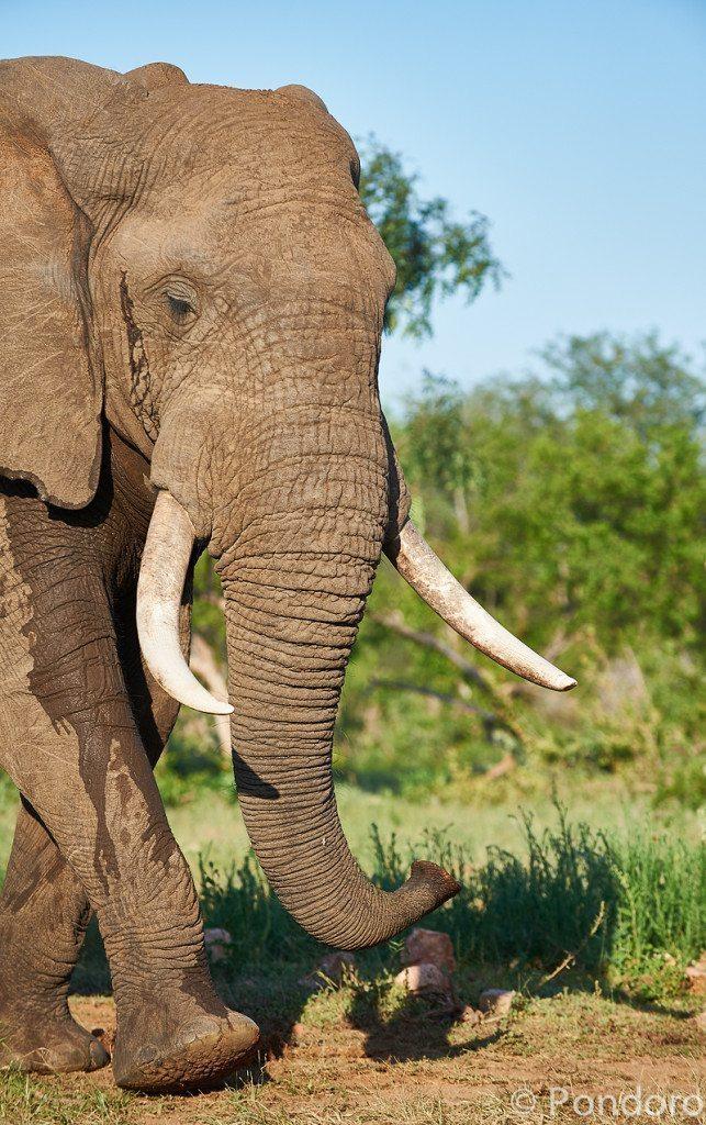 Elephant at Pondoro Game Lodge