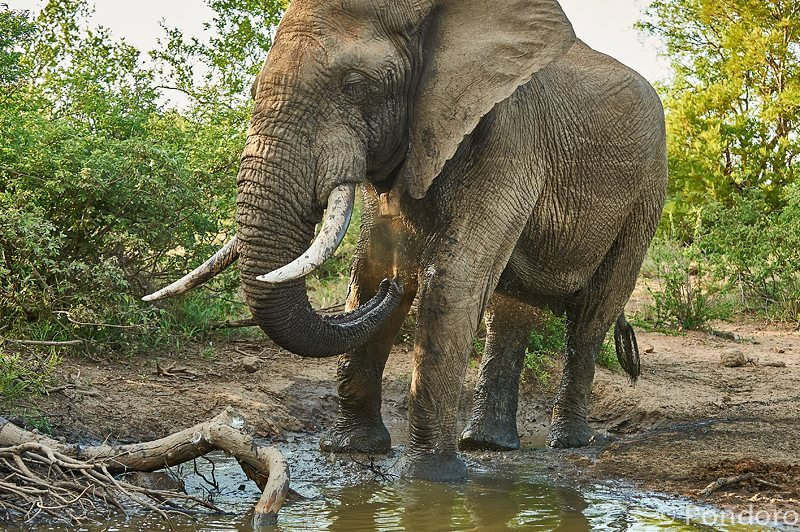Elephant bull at Pondoro Safari Lodge