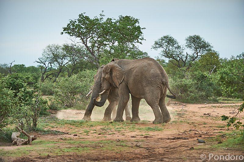 Elephant fight at Pondoro Game Lodge