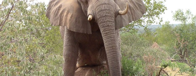 Elephant scratching at Pondoro Game Lodge