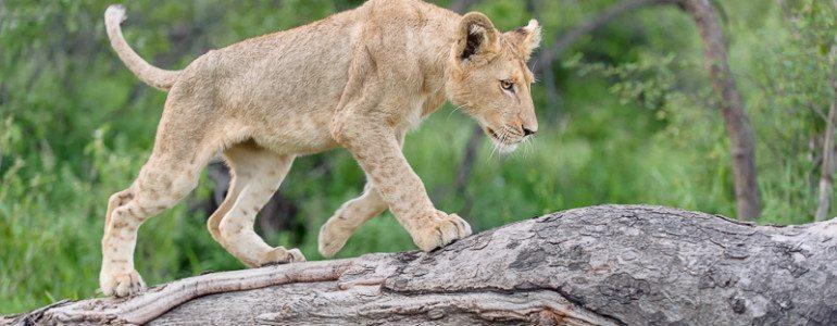 Lion at Pondoro Game Lodge