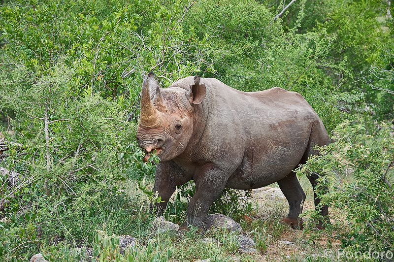 Black rhino bull at Pondoro Game Lodge