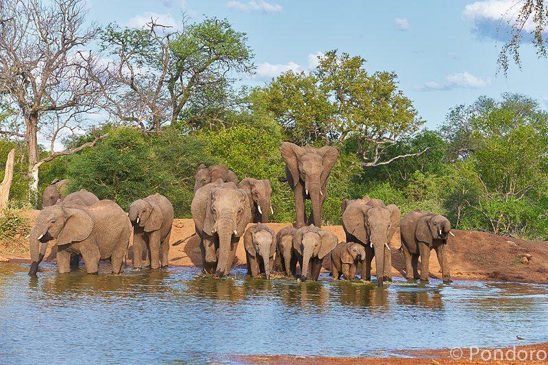 Elephant herd drink at Pondoro