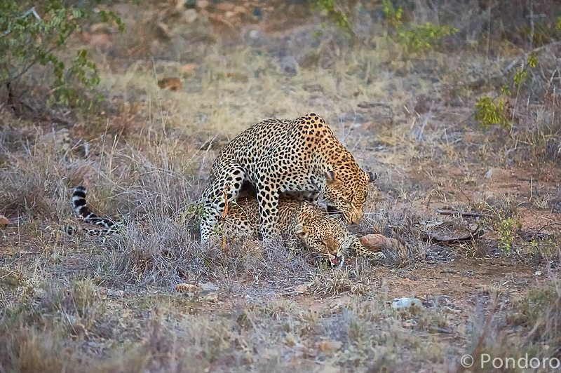 Leopards mating at Pondoro Game Lodge