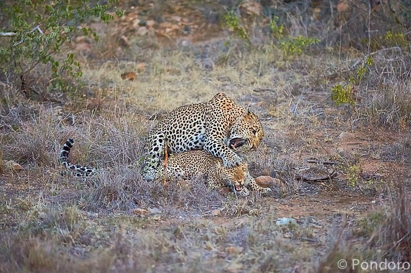 Mating leopards at Pondoro Game Lodge