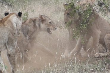 Lion fight at Pondoro Game Lodge