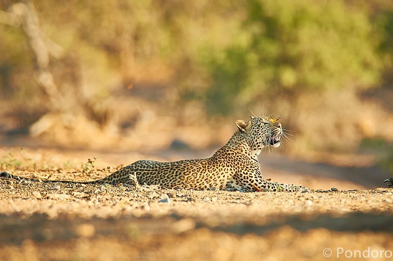 Leopard safari at Pondoro