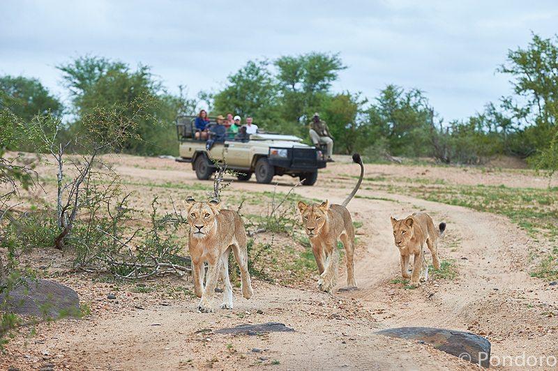 Lions on Pondoro safari