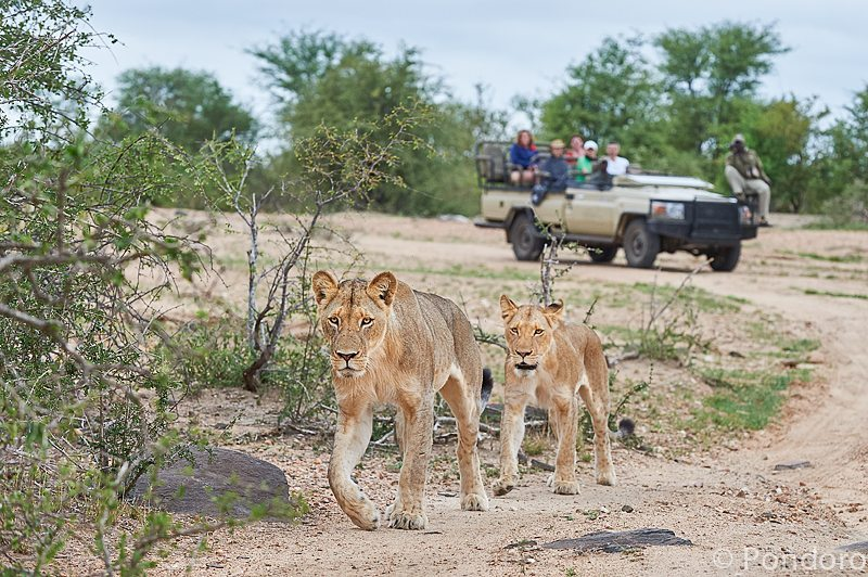 Lions Pondoro safari