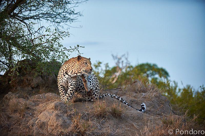 Leopard grooming at Pondoro