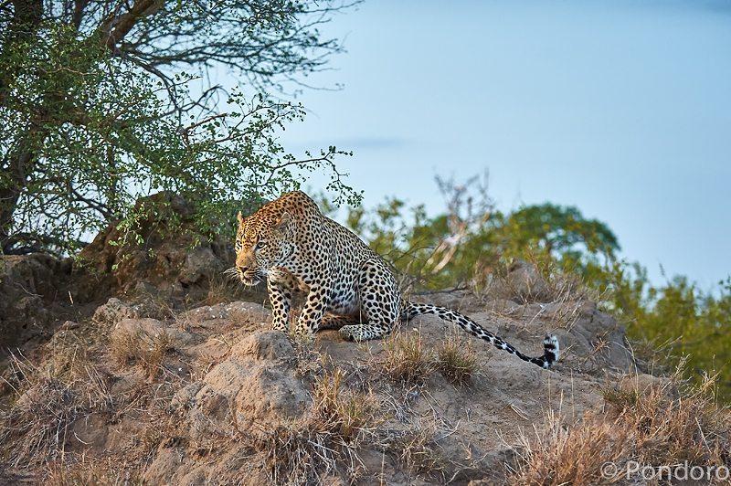 Leopard calling at Pondoro Safari Lodge