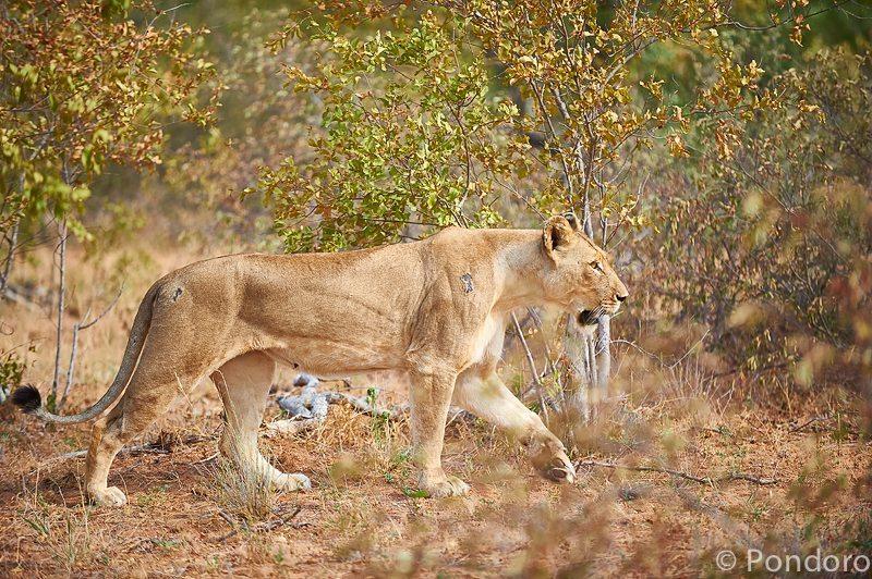 Lioness at Pondoro Game Lodge