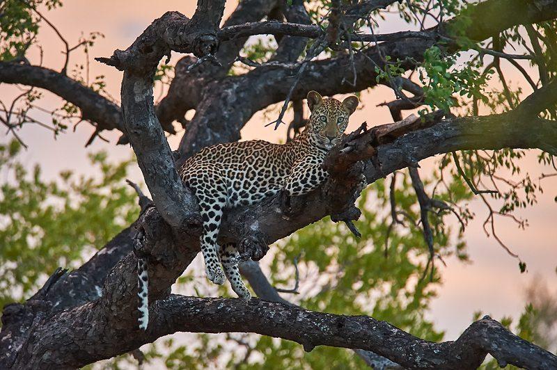 Leopard in tree at Pondoro