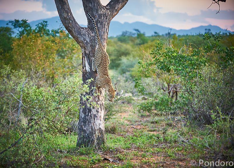 Leopard in tree at Pondoro safari Lodge
