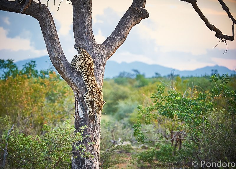 Leopard in tree at Pondoro Game Lodge