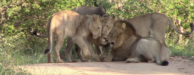 Mohlabetsi male lion coalition at Pondoro