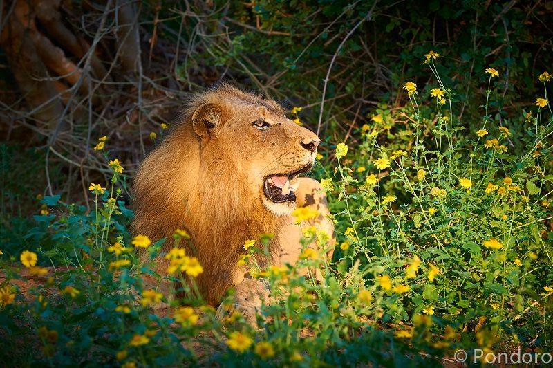 Singwe pride male lion at Pondoro