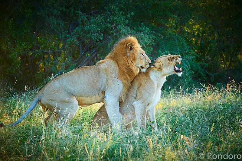 Mating lions at Pondoro