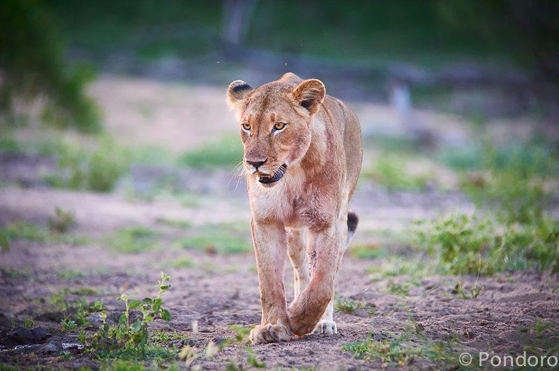 Big 5 safari lioness at Pondoro Game Lodge