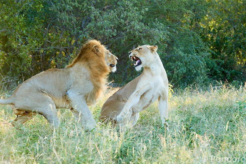Mating lions at Pondoro Game Lodge