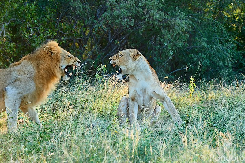 Mating lions fight at Pondoro