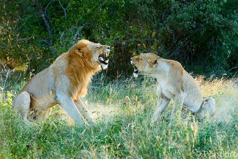Mating lions fighting at Pondoro