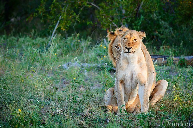 Mating lions stare at Pondoro