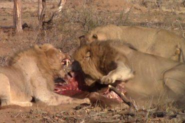 Lion fight at Pondoro Game Lodge