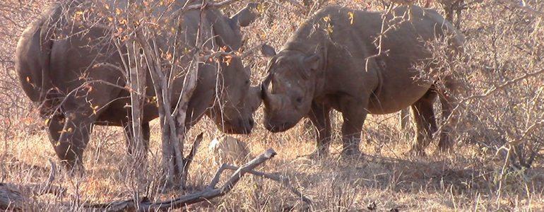 White rhino at Pondoro