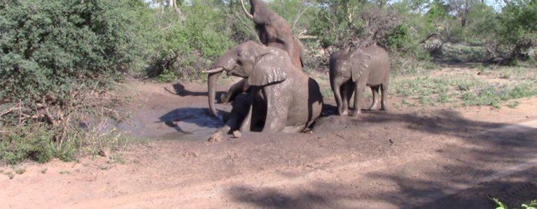 Elephant mud wallowing at Pondoro