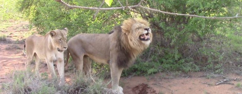 Lion flehmen at Pondoro
