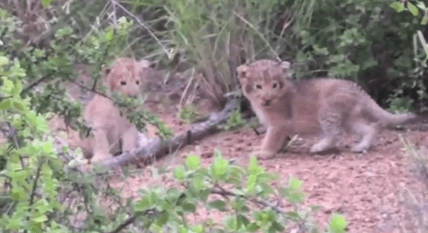 Tiny lion cubs on safari at Pondoro Safari Game Lodge