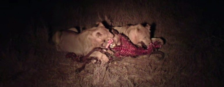 lions feeding on a wildebeest pondoro game lodge