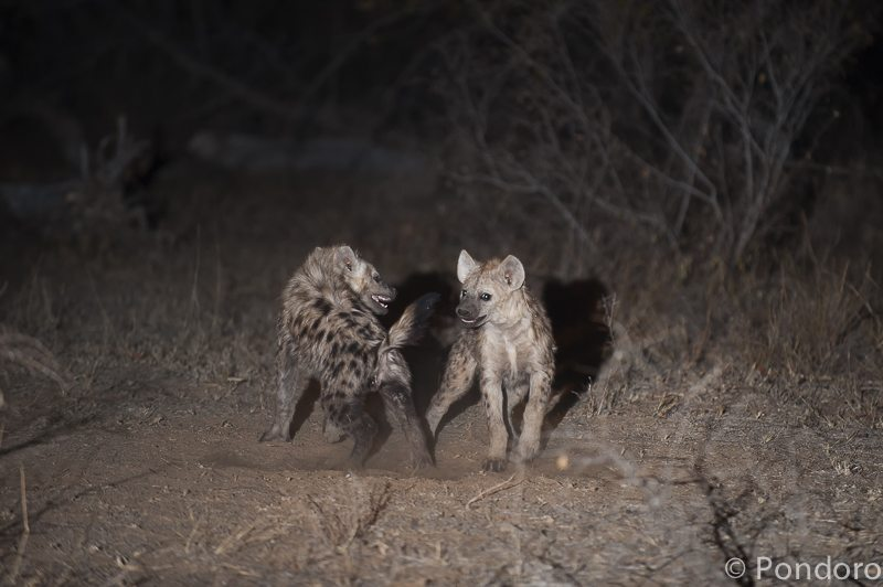 Hyena cubs at Pondoro