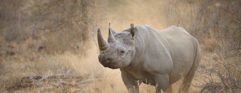 Black rhino at Pondoro Game Lodge