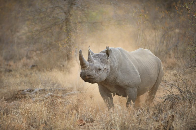 Black rhino at Pondoro Game Lodge